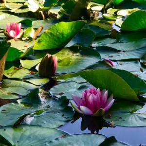 善福寺公園の蓮の花170520(350変換後)