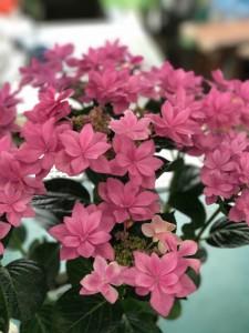 母の日の花170509